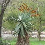 Aloe flowering in the South Africa section