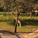 Giraffe from the balcony of our room