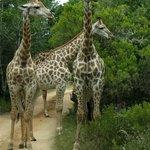 Giraffes on the road