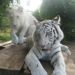 What a couple - a white lion and a white tiger