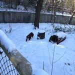 Red Panda in outdoor exhibit