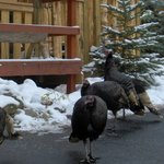 Afternoon visit from the wild turkey flock