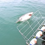 Diving with Great Whites in Gaansbaai