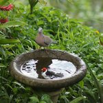 Birds bathing in the fountain outside our room