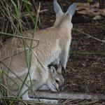 Kangaroo with her joey