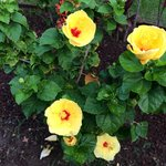 Hula Girl Hibiscus Flower
