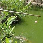 Freshwater crocodile feeding