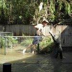Crocodile attack show