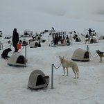 Sled Dogs on Punch Bowl Glacier