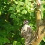 A woodpecker visits the garden