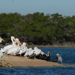 White Pelicans with Friends on the Sand Bar