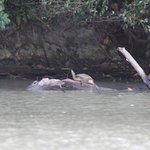 Lake Gatun turtle