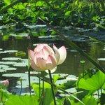 See mit Lotusblumen und Seerosen