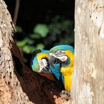 Pair of Blue and Gold Macaws