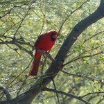 always see cardinals