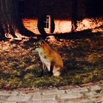 A genuine Red Fox outside the Fox's Den Tavern!
