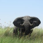 First elephant spotted in the Delta