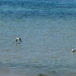 pacific gulls feeding outside our cabin