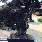 520年の盆栽