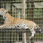 Ягуар в зоопарке