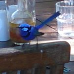 Beautiful little blue wrens at the Berry Farm cafe.