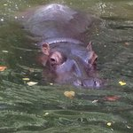 Hippo can hold breath for 4 mins under water