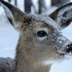 Deer at Auberge