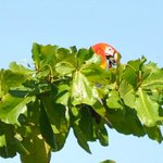 Scarlet macaw visited on the first morning in the beach almond tree