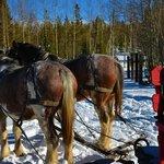 Horses resting