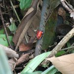 Strawberry Poison-dart Frog outside our hut