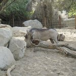 Warthog at the living desert
