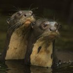 Giant River Otters at Napo