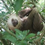 A young Brown-throated Three-toed Sloth at the