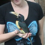 The Collared Aracari playing the Gisella (our awesome tour guide)