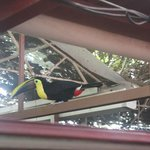 The Chestnut-mandibled Toucan, checking us out from the roof