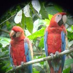 Scarlett Macaws at the clay licks