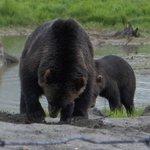 Grizzlye Bears Feeding August 2010