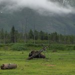Musk Ox Resting August 2010