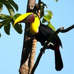 Toucan at the pool