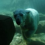 Swimming Polar Bear at Northwest Passage