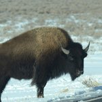 Bison on road to Kelly