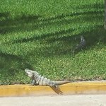We loved watching the iguanas outside the front of the hotel