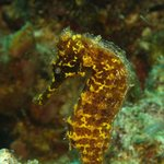seahorse on house reef