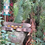 The rare red-headed barbet on the feeder with a thrush