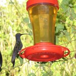 Saberwing - one of 12 hummingbird species that feed here