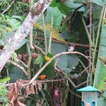Migrant birds mix with year round birds in trees & feeders
