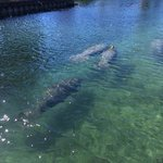 A fwe of the manatees we encountered on January 22, 2014
