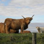 highland cattle neighbors