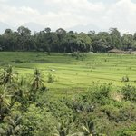 Rice Paddies from the Restaurant at Breakfast