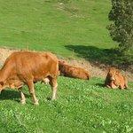 Nuestras vacas